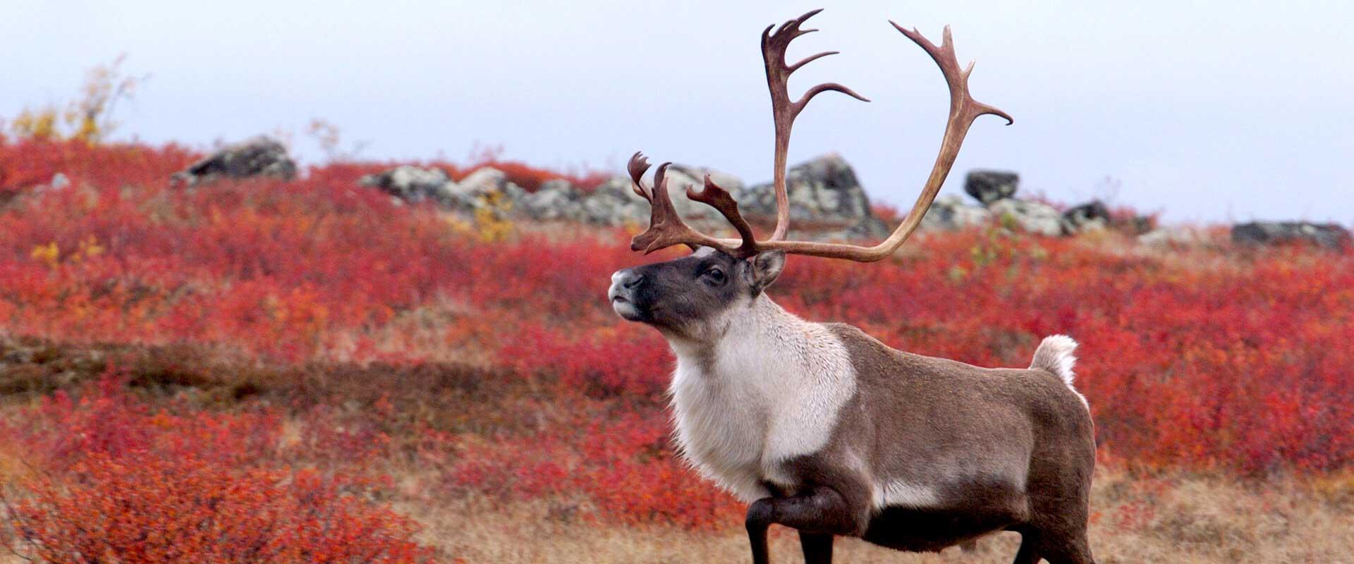 Caribou Hunt at Sandy Pond NL